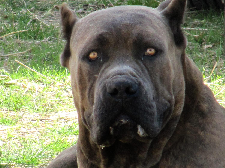 Cane Corso German Shepherd Mix | Dog Breeds Picture